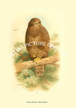 Common Buzzard - Buteo Vulgaris